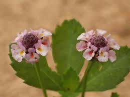 Phyla nodiflora Calflora