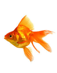 fantail fish. Delighful Fantail Fantail Goldfish Intended Fish