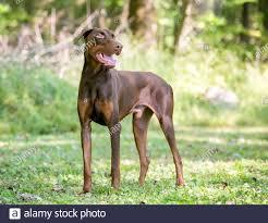 A red Doberman Pinscher dog with ...