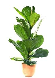 low light indoor plants safe for cats best house fig poisonous to with pictures b