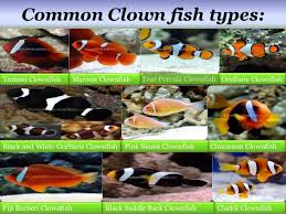 Clown Fish Identification Chart Clown Fish