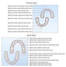 Teeth Age Chart Teeth For Life Dentist In South Burlington Vt Associates