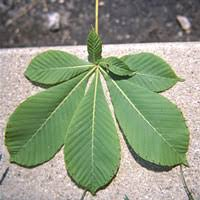 Ohio Leaf Identification Chart Ohio Dnr Division Of Forestry How To Identify A Tree