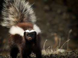 skunk that moved into out yard Images?q=tbn:ANd9GcRlfA_N1kH9r_WZ9WWyrnbct4p53y94Rvptvv5n7H9AE63B7ymViA