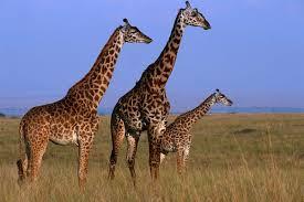pictures of a giraffe. Modren Pictures Three Giraffes Giraffe Camelopardalis Tippleskirchi Standing In  Grassland Masai Mara NR Kenya On Pictures Of A Giraffe