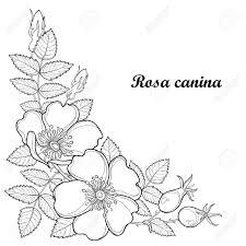概要犬のバラやロサ カニナ薬草と分岐します花つぼみ葉白い背景で隔離のヒップ夏デザインと