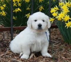 white golden retriever puppies for sale. On White Golden Retriever Puppies For Sale