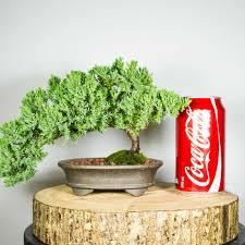 bonsai tree for office. Bonsai-tree-juniper-squamata-office-trimmer-semi-cascade- Bonsai Tree For Office E