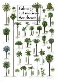 Palm Tree Chart Palms Cycads Of The American Southeast Poster Palm Trees