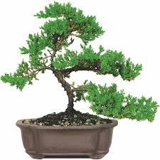 office bonsai. Brussel\u0027s Green Mound Juniper Bonsai - Medium (Outdoor) Not Sold In California Walmart.com Office