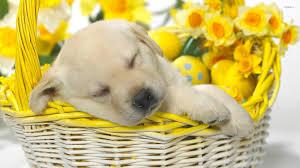 really cute golden retriever puppies sleeping. Perfect Really Cute Puppies Images Sleeping Golden Retriever Puppies HD Wallpaper And  Background Photos Inside Really Golden Retriever Sleeping