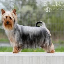 silky dog. dreaming silky silky dog