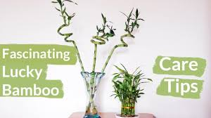 a houseplant that grows in water lucky bamboo care tips joy us garden