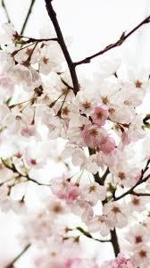 Japanese Cherry Blossom iPhone ...