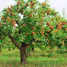 Flacourtia Jangomas  WikipediaKerala Fruit Trees