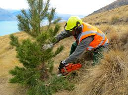 Image result for wilding pines nz