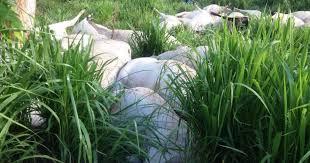 Resultado de imagem para gado morreram na fazendo raio trovão