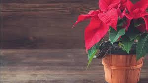 Weihnachtsstern So Hält Er Fast Ewig