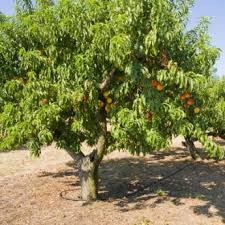 Standard Peach Trees For Sale  Buy Peach Trees From Stark Brou0027sFull Size Fruit Trees For Sale