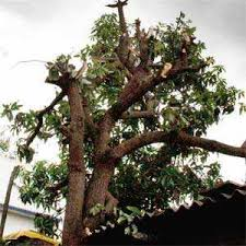 Tree-pruning drive lands PCMC man in hospital with burns