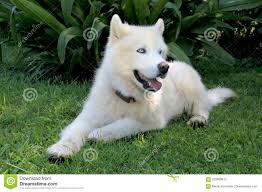 pure white husky with blue eyes. Unique Husky Pure White Siberian Husky Dog With Blue Eyes Close Up Portrait To With T