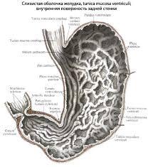 Желудок человека Анатомия Желудка строение функции картинки  Различают