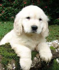 white golden retriever puppies for sale. English Cream Golden Retriever Puppies Tend To Darken In Color As They Grow White For Sale