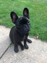 black french bulldog full grown.  Black Brindle French Bulldog 19 Weeks Bulldog Quotes  Pups Inside Black Full Grown W