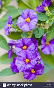 potato vine flower. Modren Flower Solanum Crisum Potato Vine Flowers  Stock Image Intended Potato Vine Flower A
