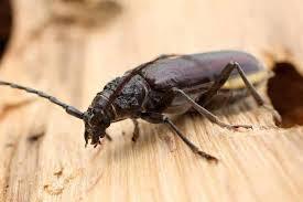 Fcba précise que les insectes xylophages « peuvent générer des dégâts considérables dans les constructions bois, les charpentes, les menuiseries ». Insectes Xylophages Information Et Conseils Eco Pest