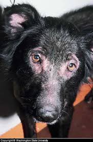 Canine Skin Rash Pictures Causes Symptoms and Treatment