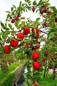 red apple fruit tree. red apple fruit tree e