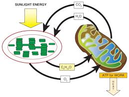 Cell Energy Flow Chart Photosynthesis And Cellular Respiration Answer Key Powering The Cell Cellular Respiration And Glycolysis