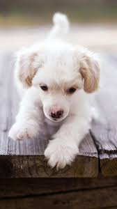 puppy dog cute puppies for iphone s phone