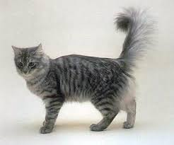 Image result for blue grey tabby cat