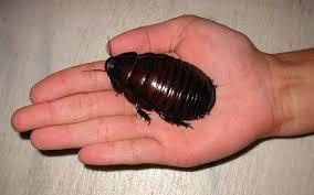 самых больших необычных и удивительных насекомых в мире  Гигантский роющий таракан носорог
