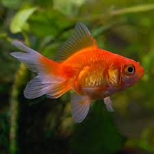 Fantail Goldfish Growth Chart Tropical Fish For Freshwater Aquariums Fantail Goldfish Red
