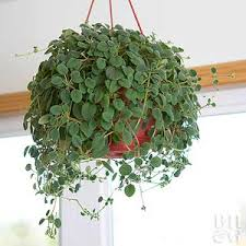 Pretty lace flower vine grows best in hanging baskets, out of reach of  curious cats and dogs. But should an extra-persistent pet make their way  into the pot ...