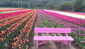 Image result for vancouver tulip festival 2018