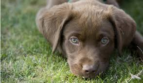 american chocolate lab puppies. Throughout American Chocolate Lab Puppies