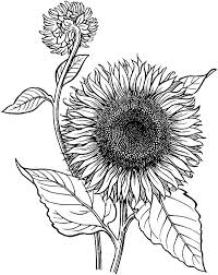 Small Picture Sunflower is Blooming Coloring Page Download Print Online