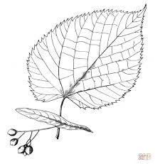 Znalezione obrazy dla zapytania liść lipy