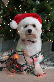 cute merry christmas wallpaper dogs. Beautiful Dogs The Lights Really Make Outfit On Cute Merry Christmas Wallpaper Dogs