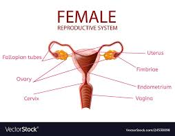 Female Reproductive System Chart Anatomical Banner Female Reproductive System