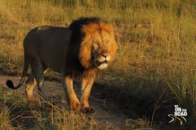 big five from a wildlife photo essay be on the road an african lion stares into the early morning sun