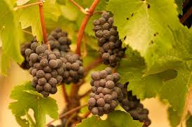 Winemakers analyze grapes for effects of smoke taint from wildfires
