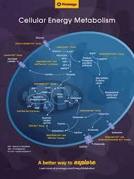 Cellular Energy Metabolism Wall Chart