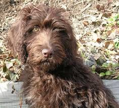 Labradoodle Color Chart Labrador Retriever Poodle Mix Labradoodle Cute Dogs Dogs