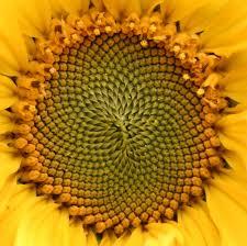 Sunflower Pattern Enchanting Sunflower Pattern Photo Johnny JAG Photos At Pbase