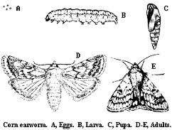 Corn Earworm Control Corn Earworm Soybean Podworm Nc State Extension